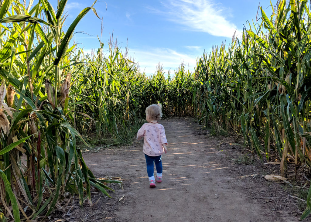 A small, blonde, toddler girl, running away from the camera, through a corn maze