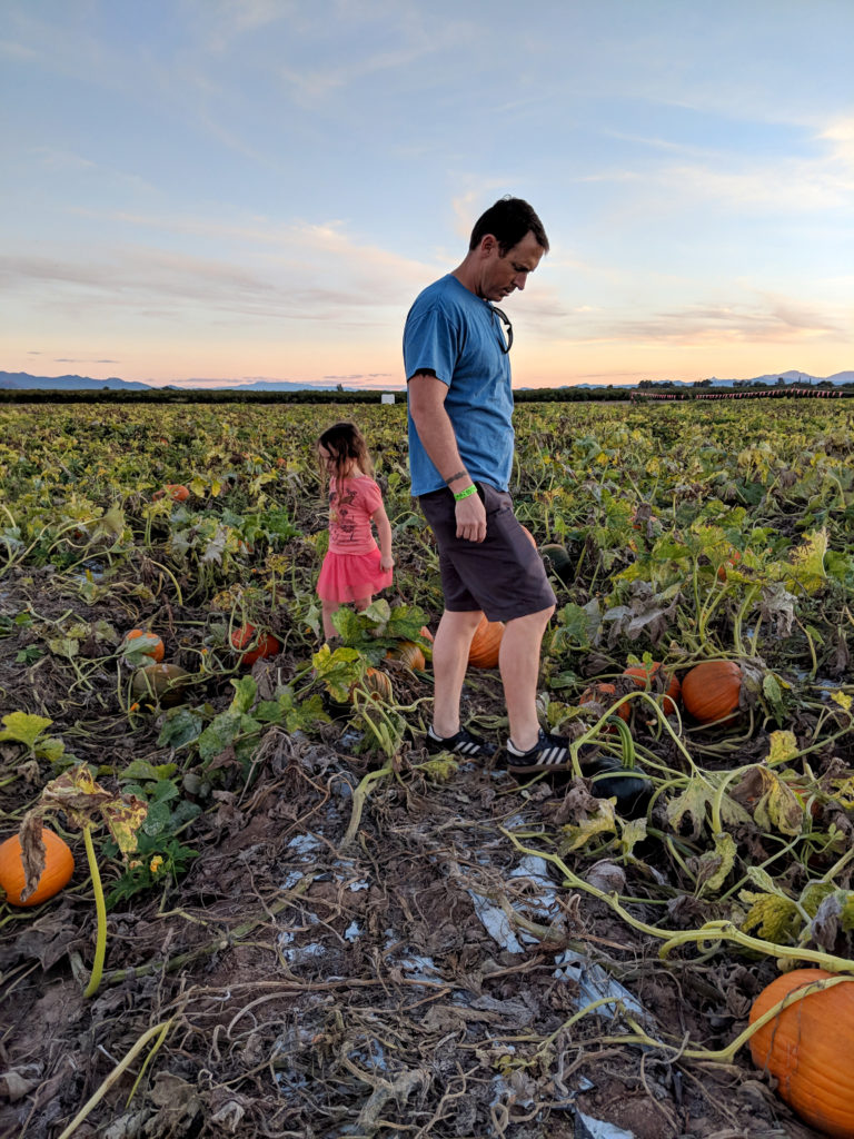 A father and a small girl, in a pumpkin patch, looking in opposite directions, searching for pumpkins